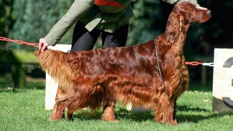 Irish Setter Dog Show | crufts dog show murder mystery irish setter jagger