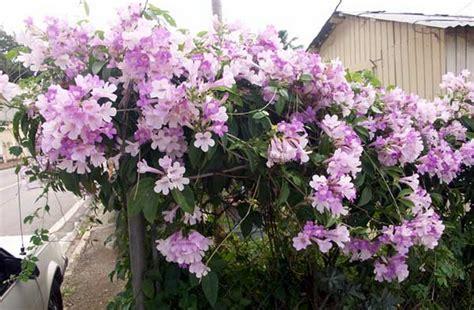 Bibit Tanaman Merambat Bunga Thunbergia Ungu tanaman garlic vine bibitbunga