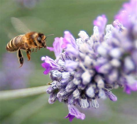 b h vegetables honey bee in lavender b h organic produce llc