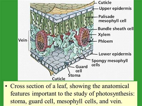 cross section of a leaf worksheet photosynthesis ppt video online download