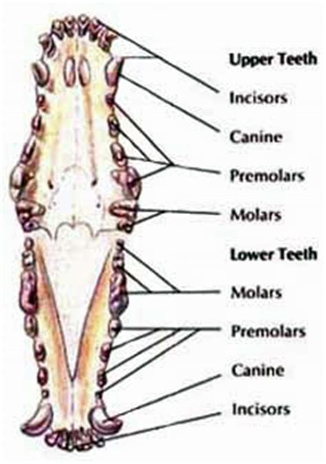 how are puppies when they lose their teeth puppy teething a guide to your puppy s new teeth