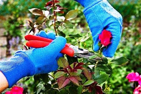 Mawar Maxy teknik merawat tanaman bunga mawar dengan baik dan benar