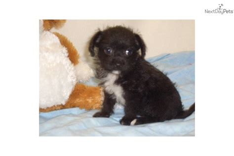 chi poo puppies for sale chi poo breeds picture
