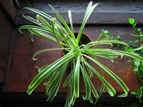 spider plant low light 15 air purifying plants to add to your apartment or home