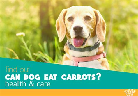 are carrots bad for dogs can dogs eat carrots healthy or bad food for your