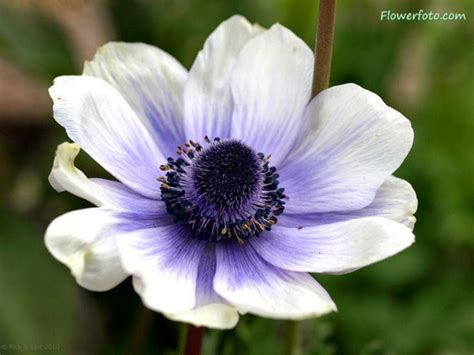 fiore flowers beautiful anemone flower weneedfun