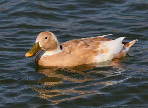 leucistic mallard flickr photo sharing