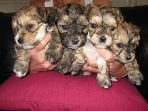 yochon puppies for sale boulee the bichon yorkie yo chon at 6 months breeds picture
