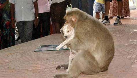 puppy and monkey monkey adopts puppy in new delhi photos