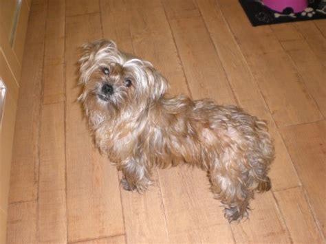 border terrier cross shih tzu ellie 16 month terrier cross shih tzu for adoption