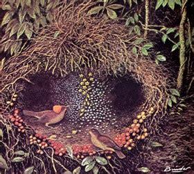 uccello giardiniere scienza e arte due culture allo specchio