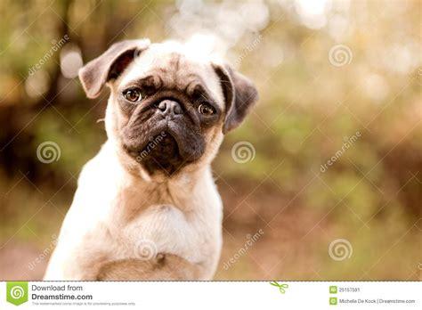pug puppy image sweet pug puppy stock image image 25157591