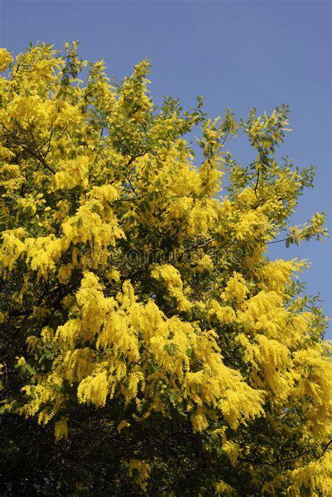 immagine di mimosa fiore albero mimosa fiore immagini stock immagine 8377314