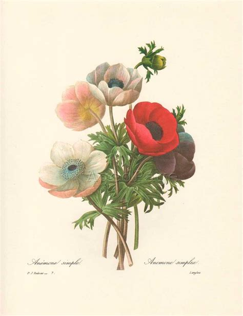 redoute the book of 97 97 best botanical prints images on botanical drawings botanical illustration and