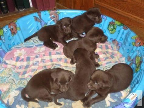 chocolate lab puppies for sale in wisconsin akc labrador retriever pups chocolate for sale in edgerton wisconsin classified
