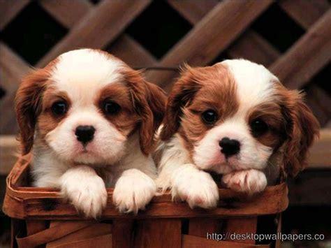 beautiful puppies beautiful puppies wallpaper desktop wallpapers free downloaddesktop wallpapers free