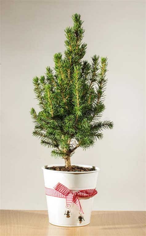 mini christmas tree live miniature potted tree on the table stock photo image 49962524