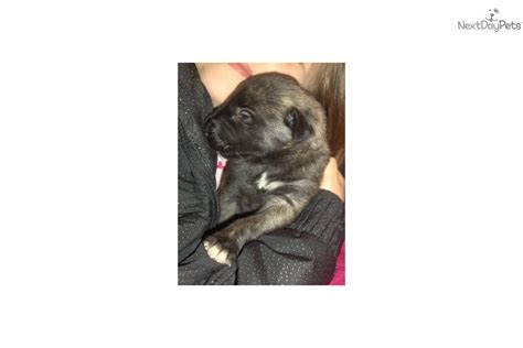 wolfhound puppies for sale near me wolfhound puppy for sale near springfield missouri 61d0851a 4361