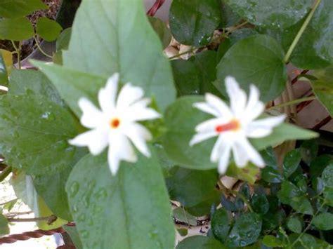 manfaat tanaman srigading berbagi