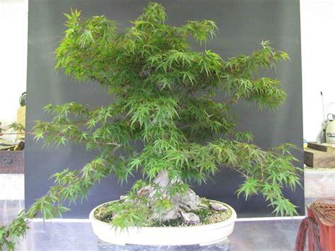 bonsai da giardino acero palmato piante da giardino caratteristiche acero