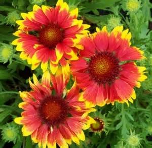 Yellow Annual Flowers Full Sun - deer resistant perennials sun mike s garden top 5 plants