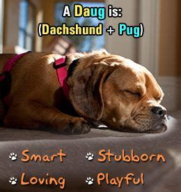 pug and sausage mix information about pug dachshund pugsund daug mix breed pug and articles