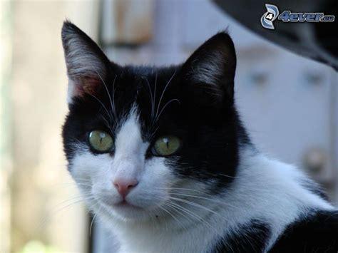 imagenes blanco y negro de gatos gato blanco y negro