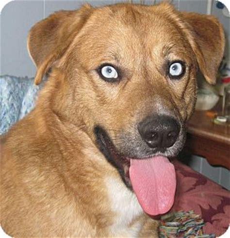 golden retriever husky mix for adoption husky australian shepherd mix puppies for sale breeds picture