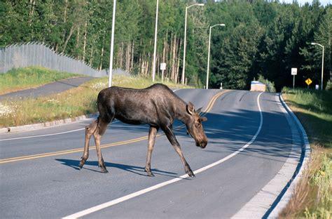 File Ee  Moose Ee   Crossing A Road Jpg