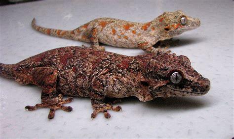 gargoyle gecko rhacodactylus auriculatus good life herps