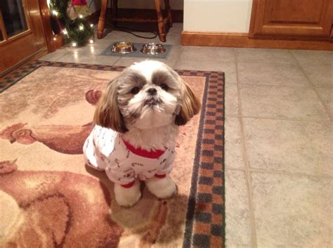 s shih tzu heaven 243 best images about shih tzu heaven on animals and pets dogs and puppies