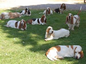 Pets You Can Find In Your Backyard 857 Best Images About Basset Hounds The Love Of My Life