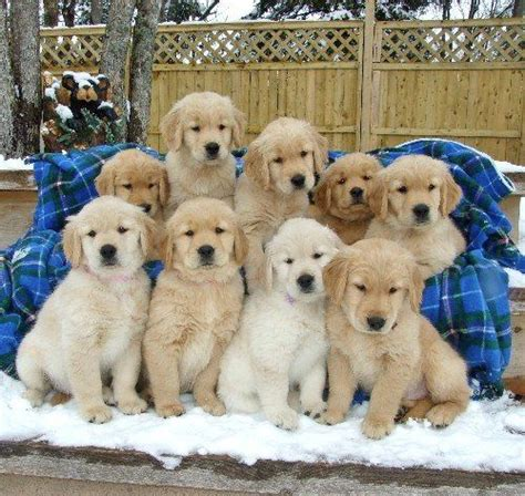 is a golden retriever a family 189 best simply golden puppies images on