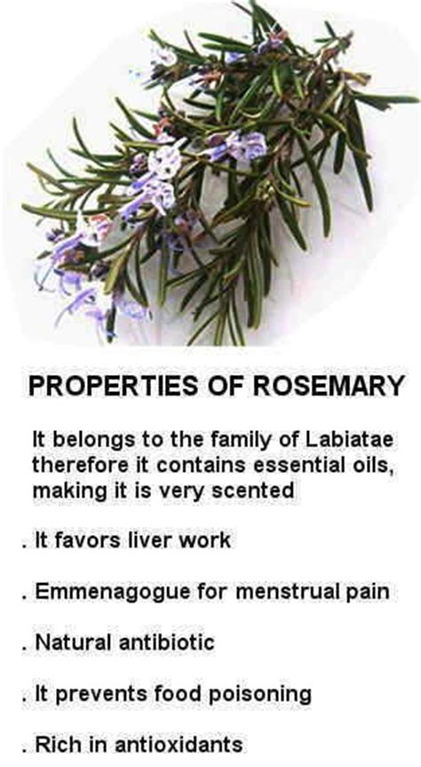 Medicinalcosmetic Uses Of Rosemary by Rosemary Properties