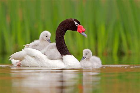 black swan and babies black necked swan and babies ducks geese swans