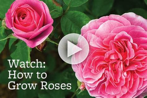 52 best i love roses images on pinterest growing roses garden roses and plants