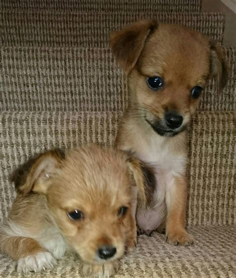 chorkie puppies for sale chorkie puppies for sale 2 left largs ayrshire pets4homes