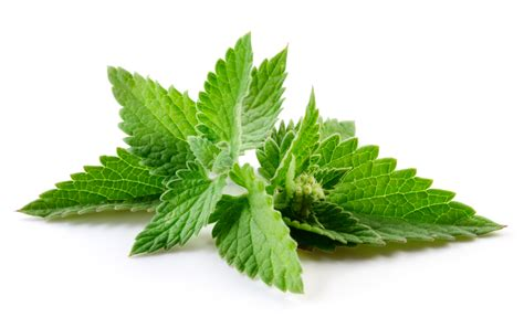 A Powerful Peppermint by Benefits Of Peppermint
