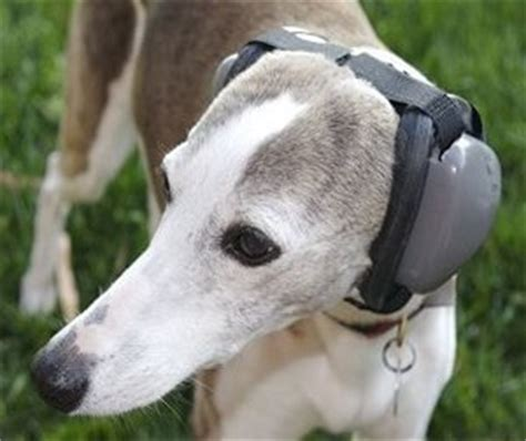 black stuff in dogs ears mutt muffs ddr337 hearing protection for dogs black large all the best stuff