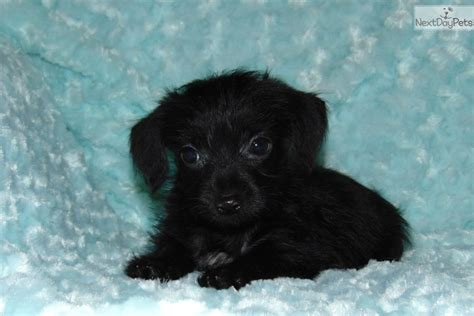 yorkie poo puppies for sale dallas tx duncan yorkiepoo yorkie poo puppy for sale near dallas fort worth