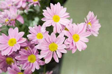 daisy facts meaning of daisy flowers and other facts about these