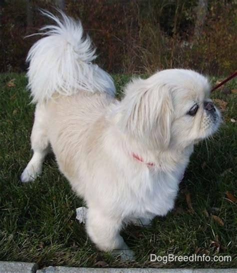 white pekingese puppies pekingese breed pictures 1