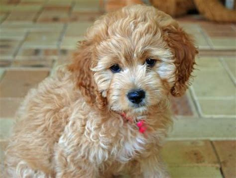 havanese cross breeds cross breed dogs breeds picture