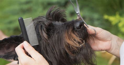 learn to groom dogs how to groom a petpremium