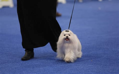 show pictures of puppies show dogs strut their stuff at the national show see preview photos