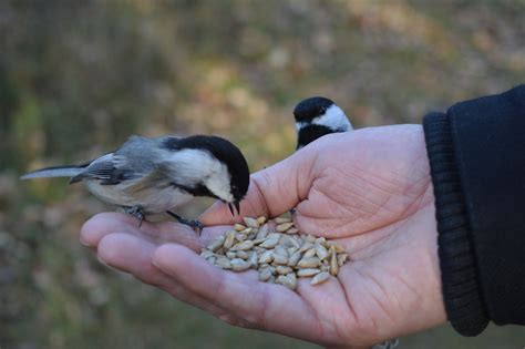interview with a black capped chickadee lab bench to