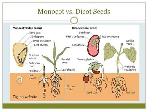 monocot diagram monocot vs dicot enviro school