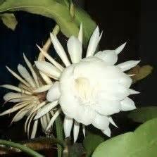 Tanaman Bunga Zephyrantes Putih 1000 images about tanaman hias bunga on mophead hydrangea vines and trumpet