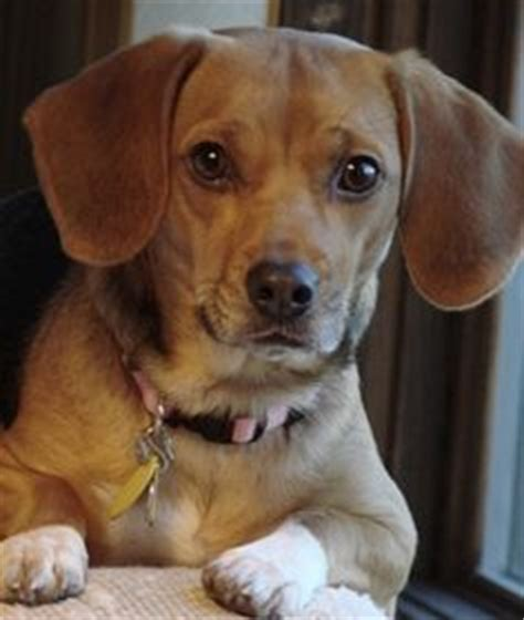 1000 images about mix of old and new on pinterest 1000 images about dachshund beagle on pinterest