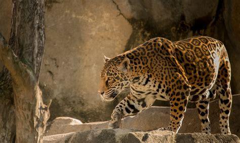 jaguar and cat jaguar predator cat hd wallpaper